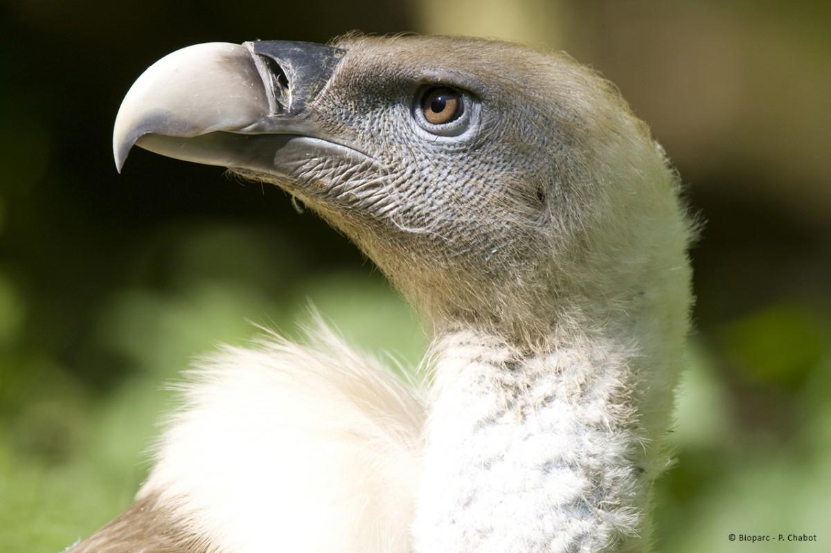 5-vautour-fauve-bioparc-p-chabot-1395