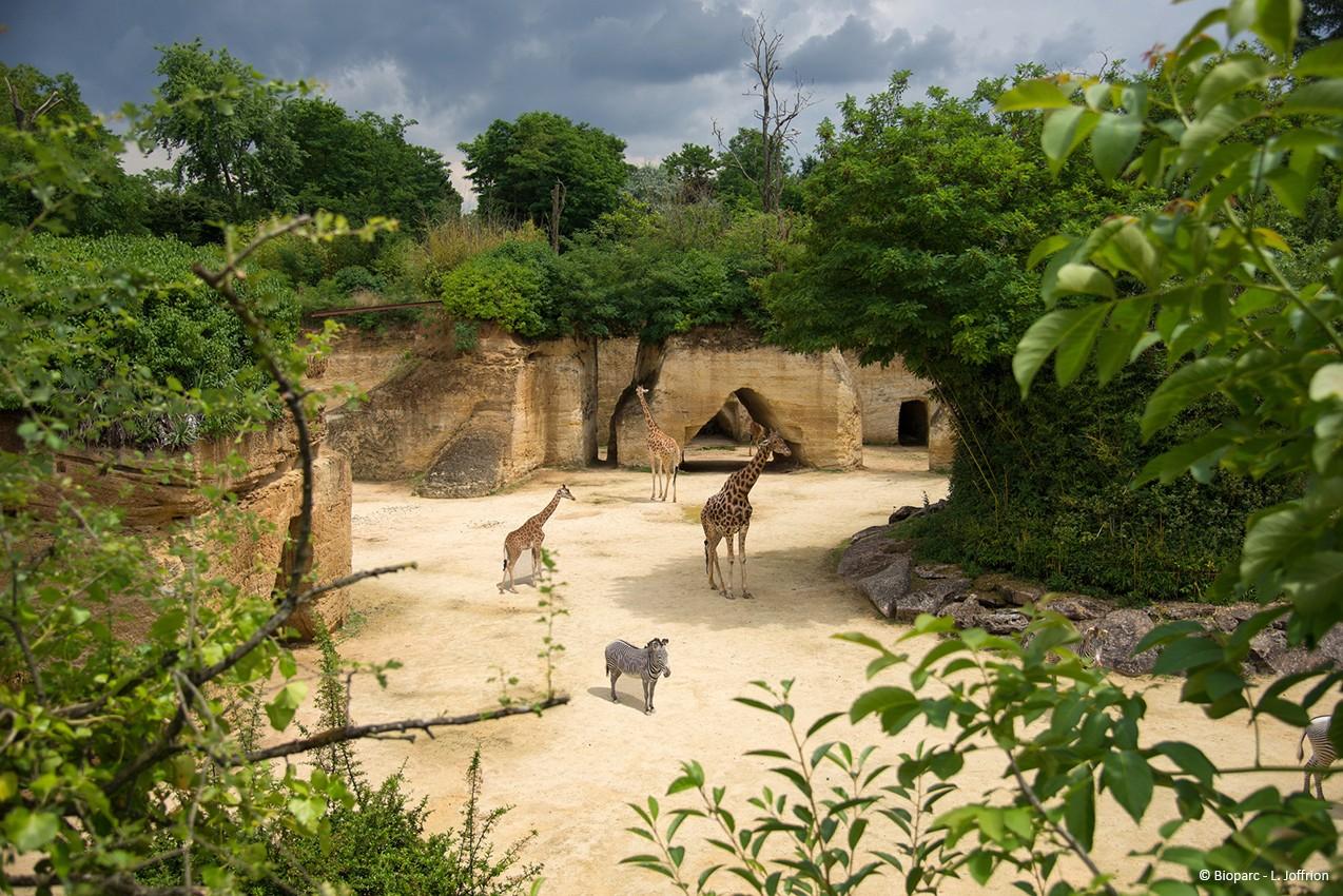 camp-des-girafes-bioparc