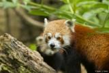 13-panda-roux-bioparc-p-chabot-935210