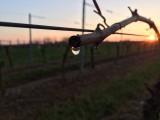 Cholet Tourisme Domaine de la Clartière Nueil-sur-Layon Viticulture Oenotourisme Vigne