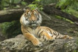 tigre-c-bioparc-p-chabot-00000002-1386843