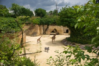 camp-des-girafes-bioparc-1386839