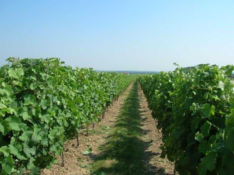 Cholet Tourisme Oenotourisme Vigne Viticulture Trémont