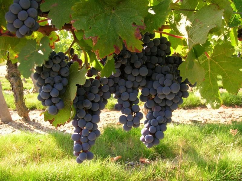 Cholet Tourisme Vignes Viticulture Oenotourisme Vin Dégustation