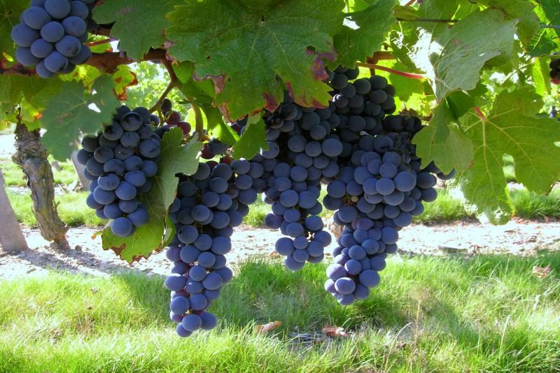 vigne-le-choletais-49-